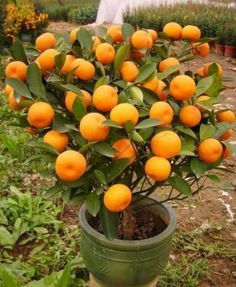Mandarinas. Cómo cultivar mandarinas en macetas y qué hacer con ellas.