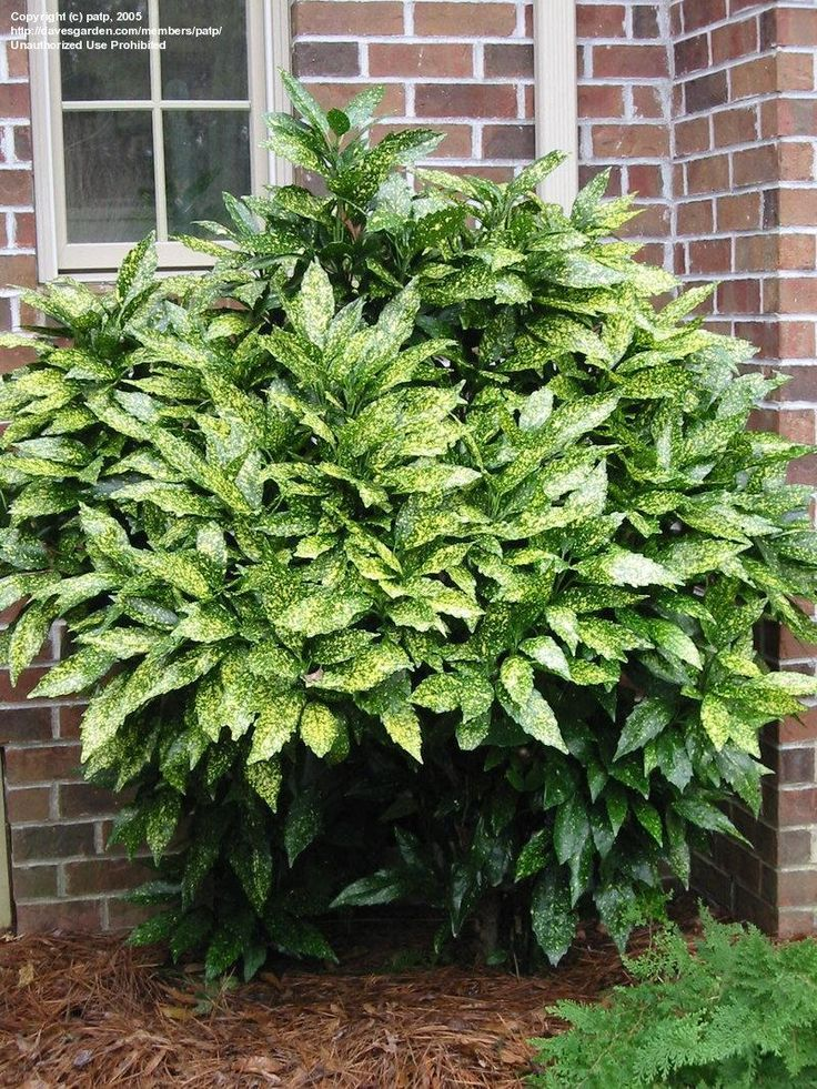 Gold dust plant (Aucuba japonica), for dry shade in my front garden, and it's a lot more cold-hardy than you'd think.