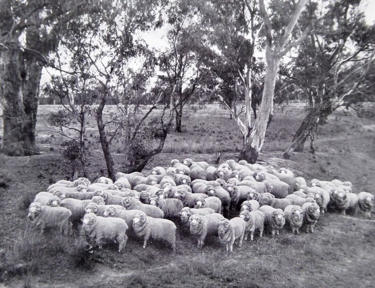 Stud Merino Rams at Hadden Rig. Haddon Rig, New South Wales. The Property of Franc B. S. Falkiner, Esq. Originally a property of approximately 28,000 acres. Enlarged to 80,000 acres with the purchases of Merrimba Station, Wemabung Station and Bona Station in the early 1920s. Photo circa 1920. Uploaded courtesy of thecollectorsbag.com
