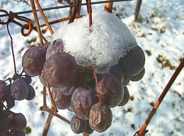 L'uva del vino del ghiaccio -