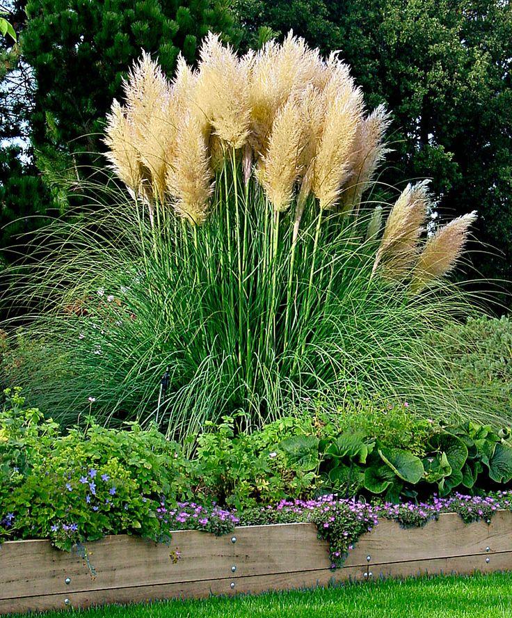 Iarba de Pampas (Cortaderia Selloana) este considerata una dintre cele mai reusite ierburi ornamentale. Aceste plante puternice sunt usor de combinat cu altele, dar arata excelent si plantate ca grupuri de sine statatoare.