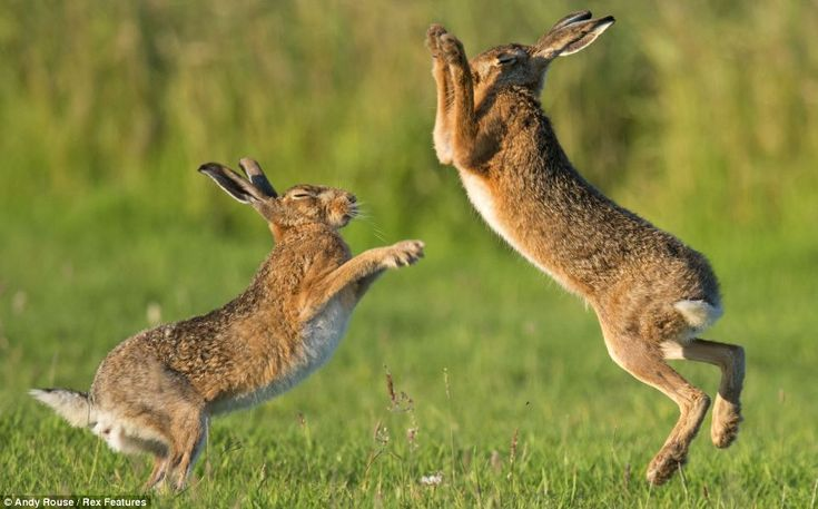 Paws at dawn: With their eyes screwed shut, the hares jump around, ready to take aim at their rivals. The male hares will breed with several females