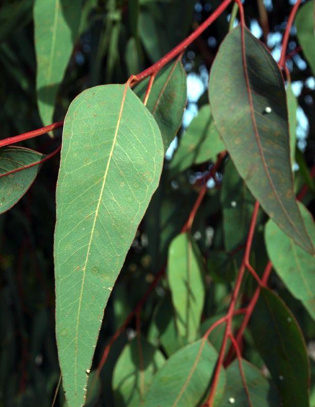 Eucalyptus camaldulensis Dehnh. Rooibloekom