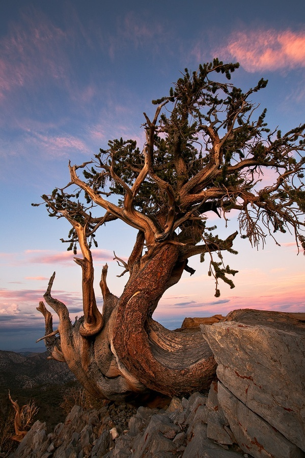 White Mountains in CA  Bristlecone Pines. Thought to reach an age far greater than that of any other single living organism known, up to nearly 5,000 years.