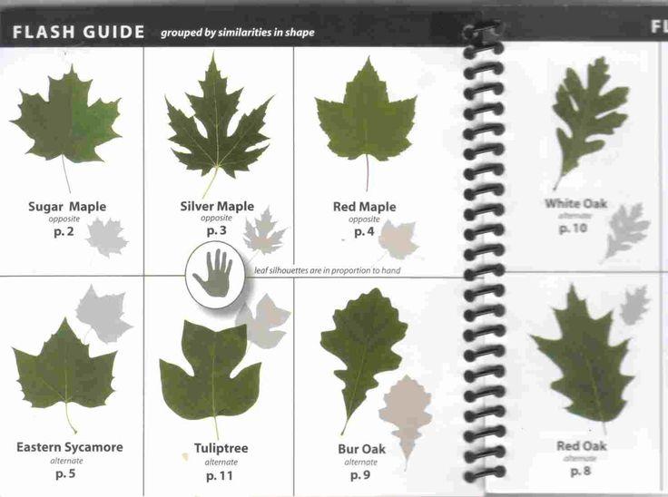 Ohio Tree Identification By Leaf Httpwwwsurvivalschoolcom