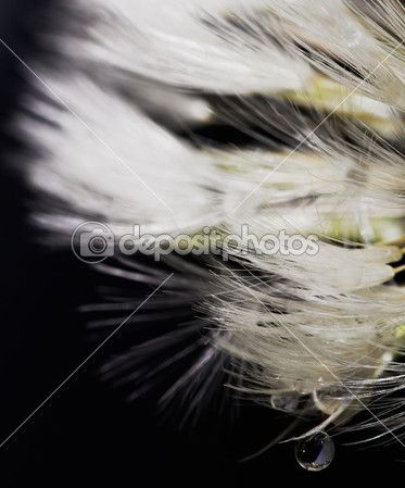 tarassaco da vicino fiore con rugiada — Foto Stock © Donatellissima #10344485