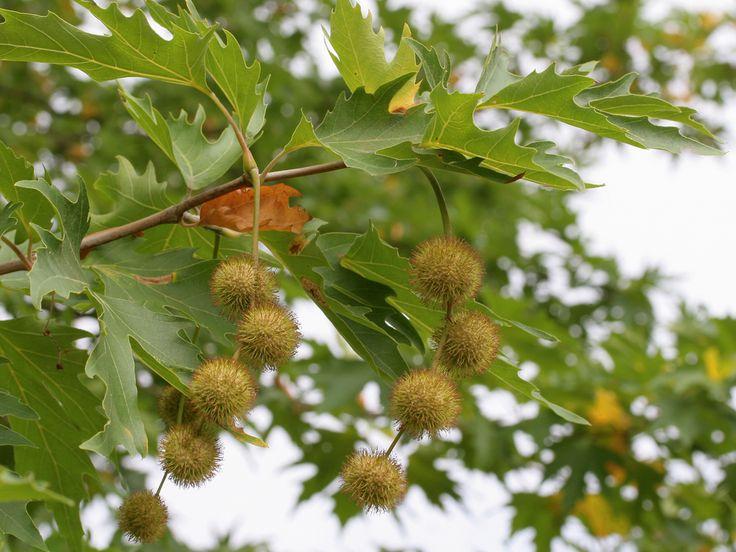 The foliage and fruits of platanus orientalis minaret for Garden deciduous trees