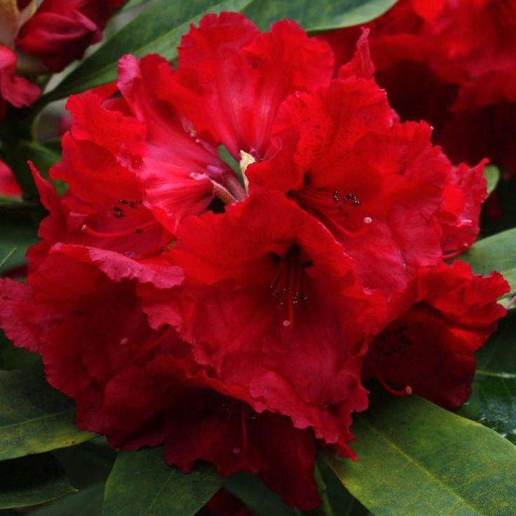 Azalee (Rhododendron) Red Jack - GardenExpert.ro