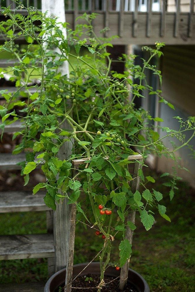 MATTS WILD CHERRY TOMATO (55 days) - Pinetree Garden Seeds - Vegetables  - 3