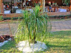 Pata De Elefante - Minhas Plantas