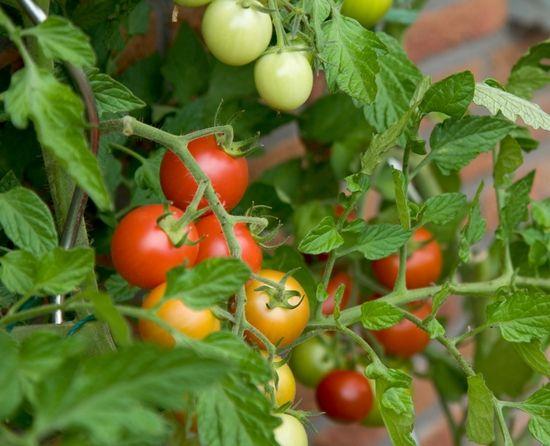 TOMAT :: Tips dan Cara Menanam Tomat di Pekarangan Rumah