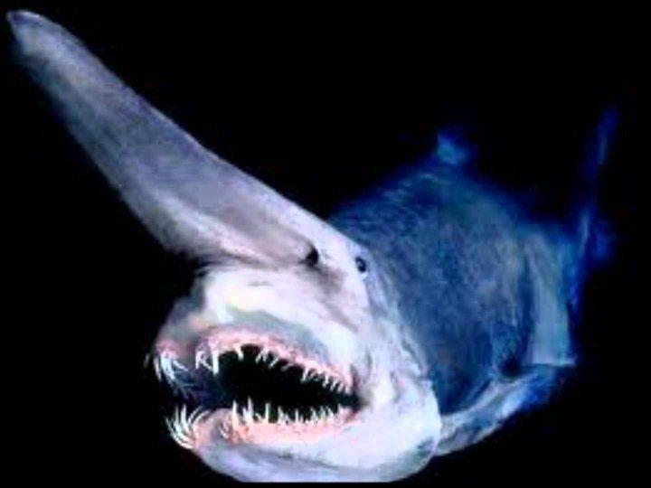 What is the goblin shark diet?