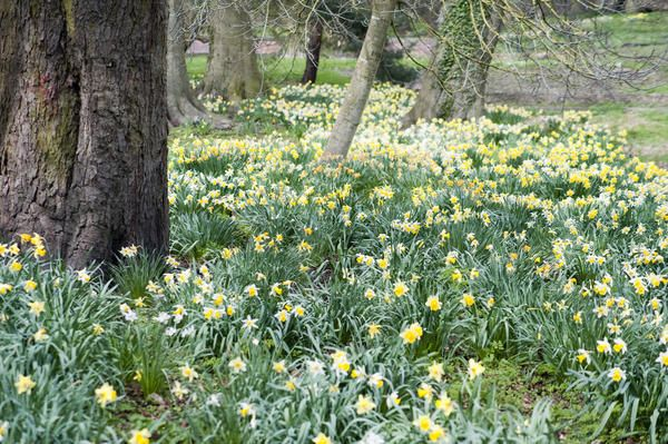 Love this image: Pretty fresh yellow spring daffodils flowering under the trees in park woodland - By stockarch.com user: stockmedia.cc