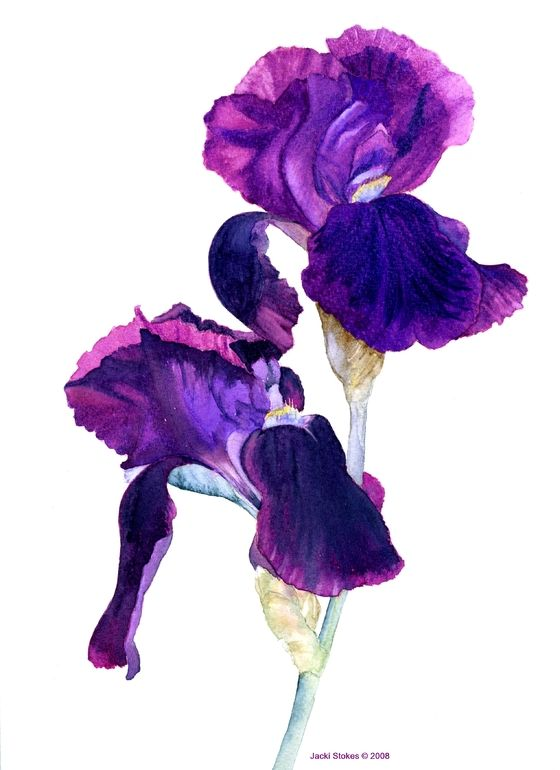 "Jacki Stokes; Watercolor,m""Purple Sable Iris"""