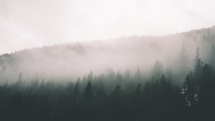 A thick fog over silhouettes of coniferous trees