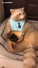 Red Panda eating pittless cherries