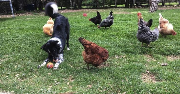 Dogs protecting chickens dogs chickens raising chickens