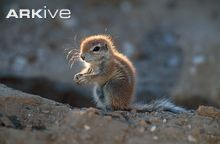 Young South African ground squirrel