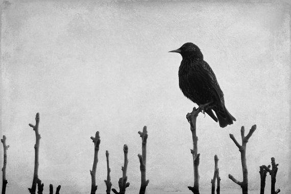 Black Bird Print Blackbird Photograph Black