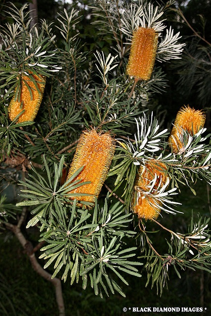 banksia spinulosa var  collina - hairpin banksia -  u00a9 all rights reserved