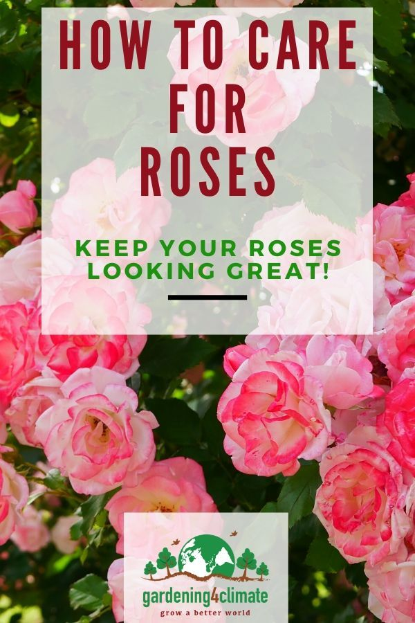 Organic Care Of Roses Without Toxic Chemicals Rose Care Organic