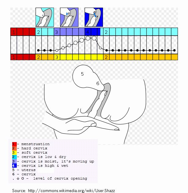 How to Detect your Cervix Position (CP) and Cervical Mucus (CM) type for your Charts - This image is what your CP is and how it changes revolving around your fertile days and your day of your ovulation