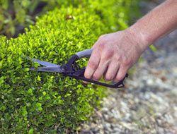 Buchsbaum: Zehn Tipps für schöne Pflanzen