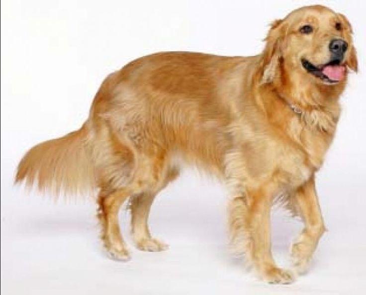 умный взгляд охотничьей собаки: 19 тыс изображений найдено в Яндекс.Картинках