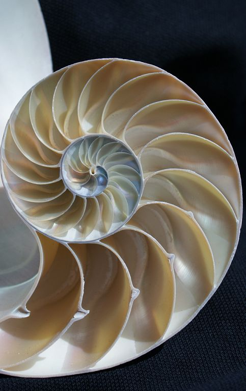 The logarithmic spiral of the chambered Nautilus shell