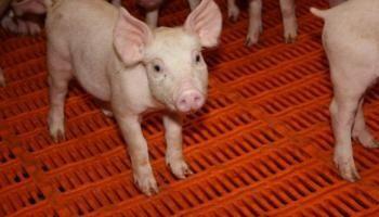 Nature et environnement - Signez la pétition : Non à la nurserie porcine de Poiroux en Vendée !