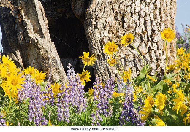 Wildflowers, Columbia River Gorge, Oregon, USA - Stock Image