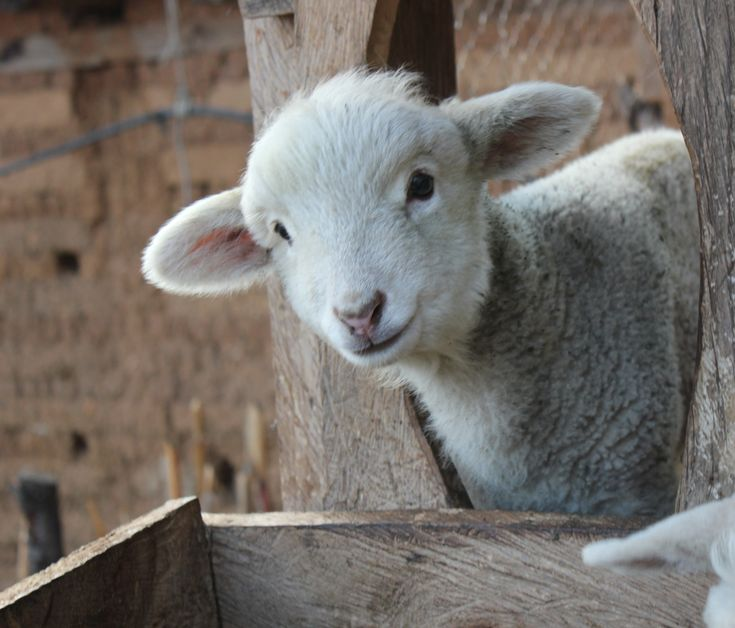 sheep-alert.jpg 3,976×3,397 pixels