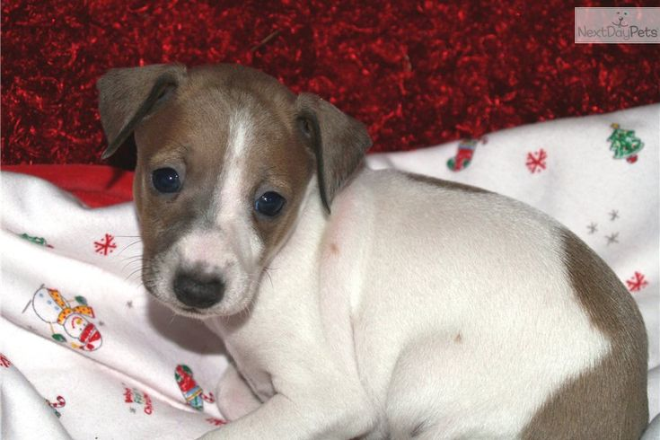 Meet Clover A Cute Italian Greyhound Puppy For Sale For 900 Greyhound Puppies Pinterest