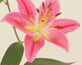 Fotografia fiore fiore rosa Astrantia arte di EyePoetryPhotography