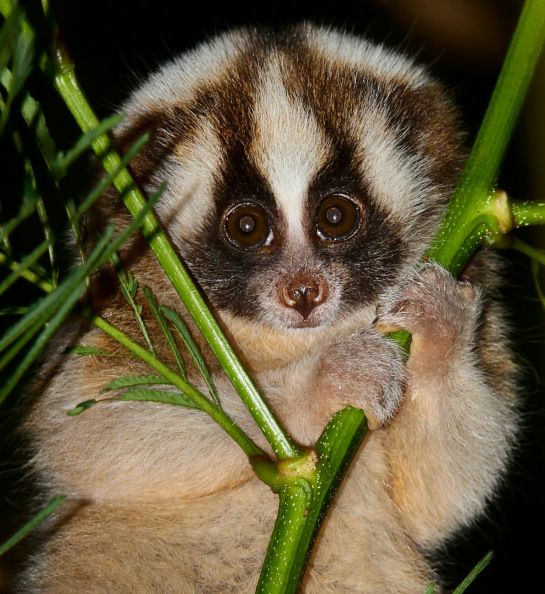 ASIA - Javan Slow Loris (Nycticebus javanicus) has a distinct stripe that runs the length of its back and forks at the crown, leading to the eyes and ears.