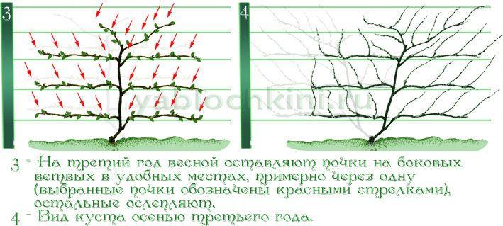 формирование-лимонника-веерной-формой-2