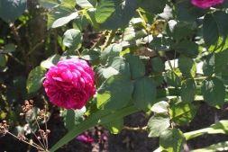 Выращивание роз в саду - Садоводка