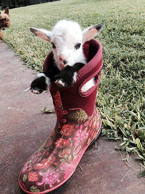 Image result for baby pygmy goats