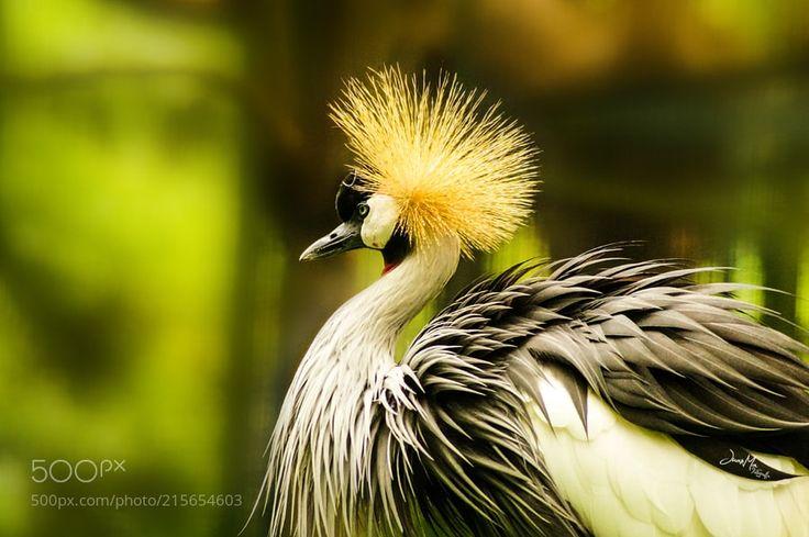 Grulla Coronada: - PROHIBIDO USAR ESTA IMAGEN EN NINGÚN SITIO  EXPLICITO SIN PERMISO DEL AUTOR PROHIBIDA SU VENTA COPIA O REPRODUCCIÓN!! COPYRIGHT. JUANMA FOTOGRAFÍA.   La grulla coronada cuelligrís.  (Balearica regulorum) es un ave gruiforme de la familia Gruidae. Habita comúnmente en la sabana africana al sur del Sahara aunque suele anidar en hábitats más húmedos. Sus grandes manchas alares blancas sobre el plumaje gris son visibles durante el vuelo y la exhibición. Habita en pantanos…
