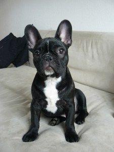 Bouledogue Français, Top 10 des races de chien de petite taille