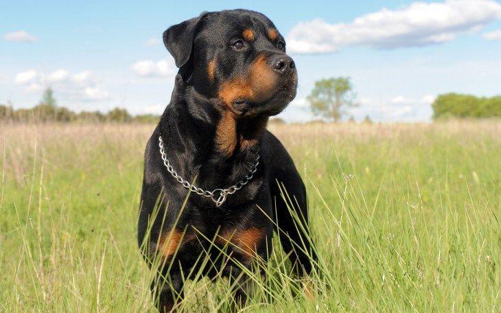 Estas son las 15 razas de perros más inteligentes del mundo...