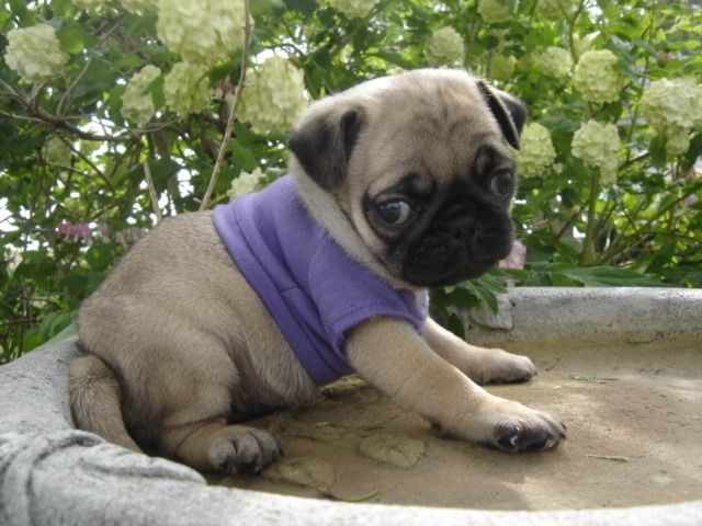 stunning male and female pug puppies for adoption
