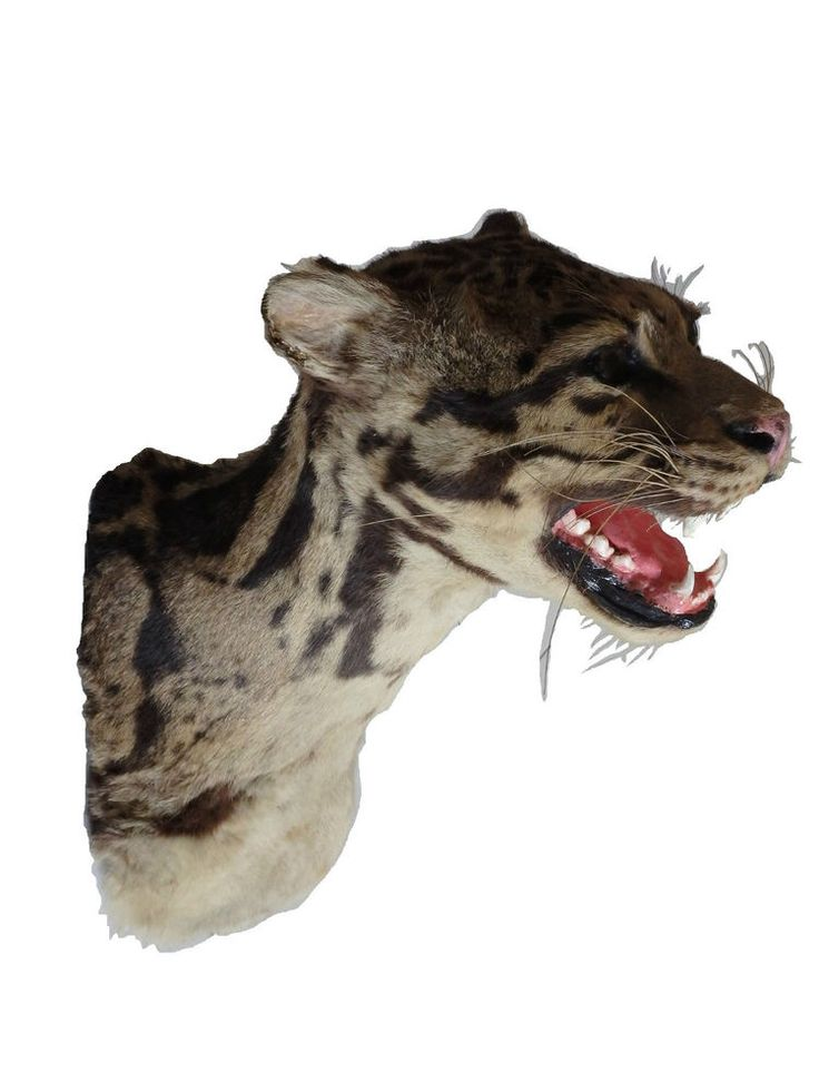 taxidermy leopard clouded 1945 cites exempt. taxidermy rare only across the web