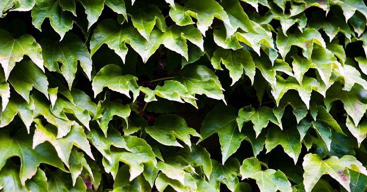 Cómo matar a las enredaderas con lejía y detergente. Aunque las enredaderas pueden proporcionar una cubierta de tierra maravillosa en tu jardín, también pueden rápidamente salirse de control y ahogar las plantas cercanas y arbustos. Sin embargo, eliminar las enredaderas no es un proceso difícil. De hecho, una solución de lejía y detergente simple es todo lo que necesitas para comenzar el proceso de ...