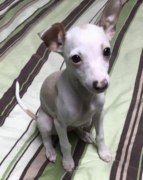 Italian Greyhound puppy for sale in BROOKLYN, NY. ADN-67934 on PuppyFinder.com Gender: Female. Age: 10 Weeks Old