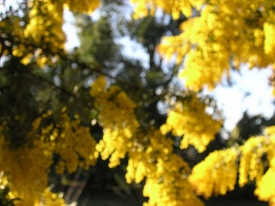 Wattle at heaven scent 2010 by Sylvia Nevistic
