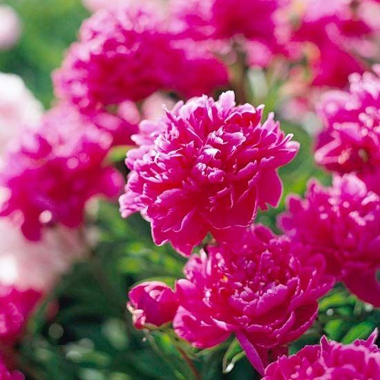 peonies are long lived plants that form 2 to 4 foot tall clumps in shrublike bunches.