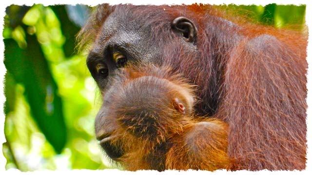 Five Dollar Traveller: BLOG - Wild orangutans in Borneo (Hairy Orange version of me)
