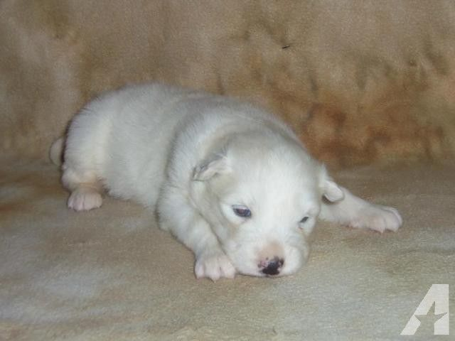79 Husky Samoyed Mix Puppies In 2020 With Images Malamute Husky Pets For Sale Puppies