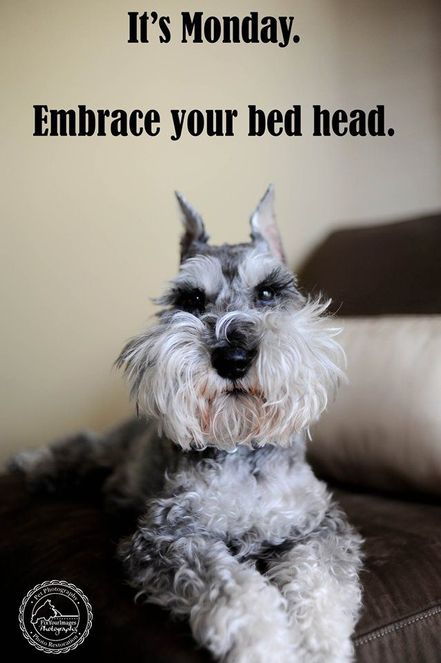 Monday Bedhead Remington by Fix Your Images Photography #Miniature #Schnauzer